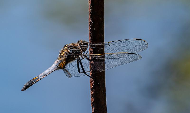 A Black Tailed Skimmer (Orthetrum cancellatum)  at Sheffield Park Gardens