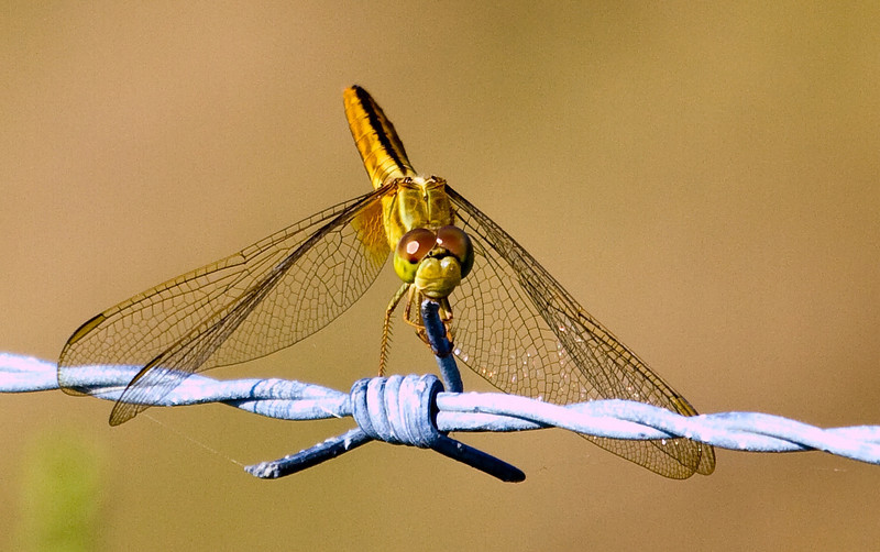 scarlet skimmer female