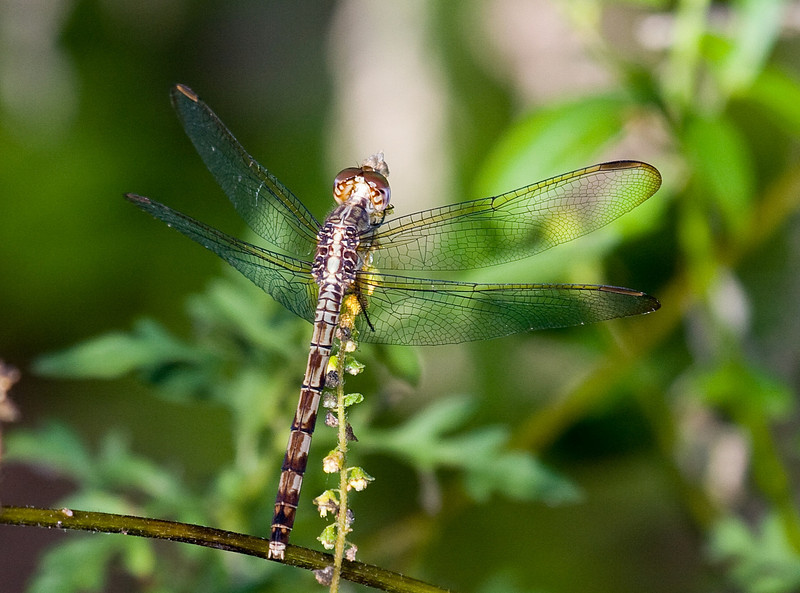 band winged dragonlet female