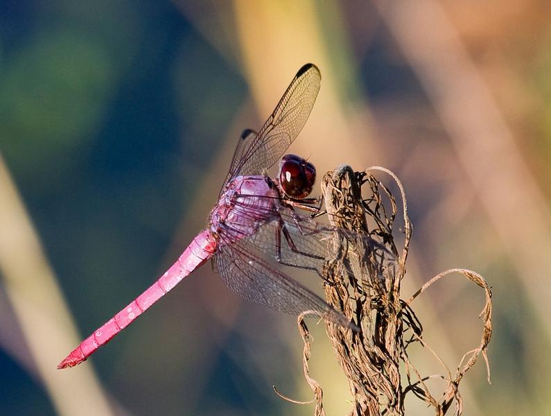 roseated skimmer