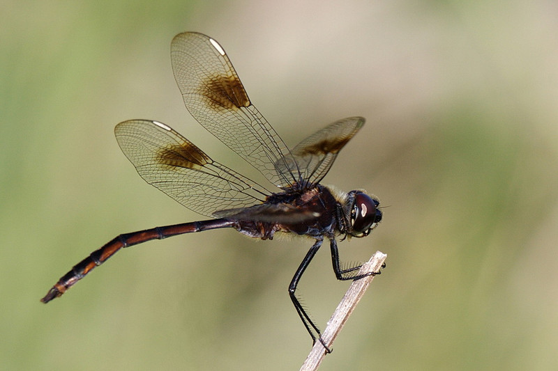 """5752 An adult male four-spotted pennant dragonfly. The """"four-spotted"""" in its name refers to the four large, round spots on its wings outboard of the nodus (the shallow notch about midway along the front edge of each wing), not to the white dashes, called stigmas, toward the end of each wing's forward edge. The four-spotted pennant is the only dragonfly in the south with white stigmas, so identification is easy. What is not easy is determining age and gender, as juveniles and females look similar, and both darken with age. I don't know why this fellow has his abdomen bent."""