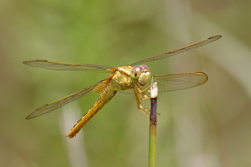 """5863 A forward oblique view of a female scarlet skimmer dragonfly. Here you can see the details of her face, and the brown patch near the base of her hind wing. The scarlet skimmer is an invasive, having come from Asia and settling in southern Florida in 1975. (See """"Florida's Fabulous Insects"""" by Mark Deyrup and Brian Kenney, a beautiful, authoritative book [as are all in the """"Fabulous Florida"""" series] with astounding photographs.)"""