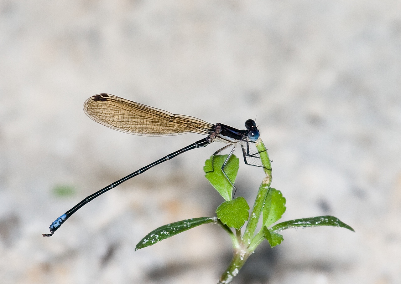 variable dancer male