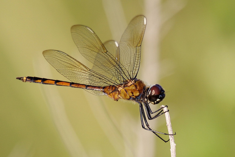 5700 An immature four-spotted pennant dragonfly.