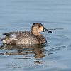 Redhead Duck 19 Nov 2018-6139
