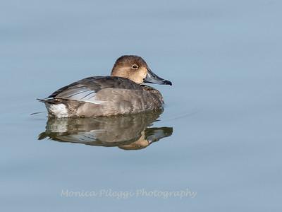 Redhead Duck 19 Nov 2018-6145