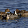 Pintail Ducks 082105_6949