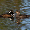 Hooded Merganser 123008_1102