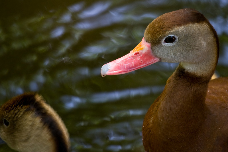 Whistling Duck 051208_9087