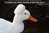 Crested Pekin Duck