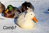 Comb?<br /> <br /> Crested Pekin Duck