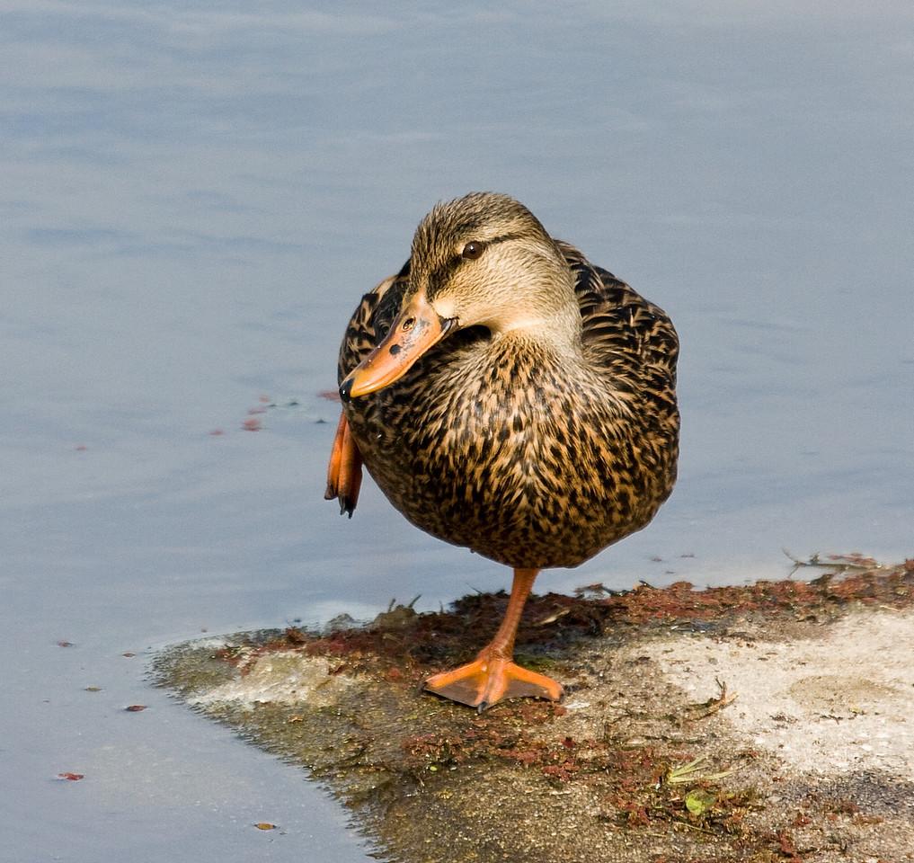 florida mottled duck