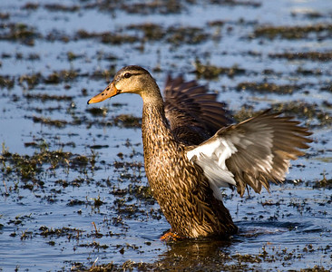 florida mottled duck