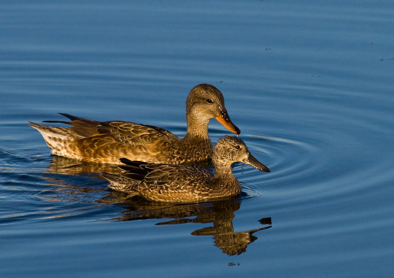gadwall and blue winged teal