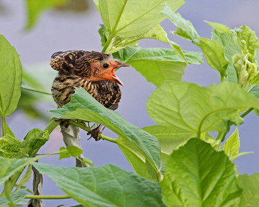 baby red-winged blackbird calling for mom, Dutch Gap, Chester Virginia