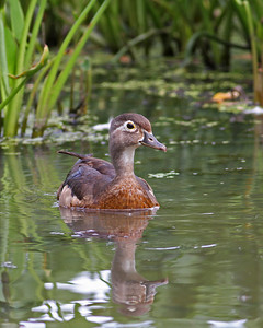 wood duck female in June, Dutch Gap, Chester, VA