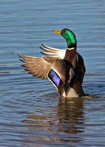 mallard drake in November, Dutch Gap, Chester, VA