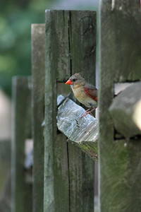 cardinal, Dutch Gap, Chester, VA