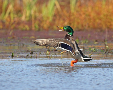mallard drake lifting off, November at Dutch Gap Conservation Area, Chester, VA