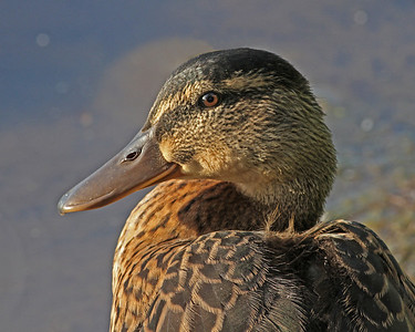 young mallard in June, Dutch Gap, Chester, VA