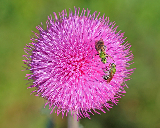 sweat bees on thistle flower in May, Dutch Gap, Chester, VA