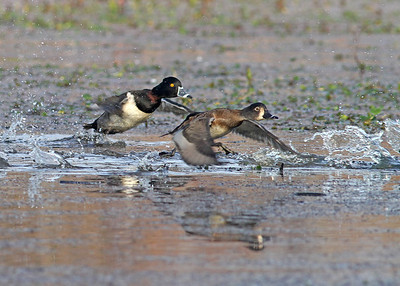 ring neck ducks, taking off in December at Dutch Gap, Chester, VA