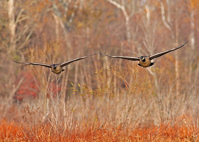 canada geese in flight over marsh, November at Dutch Gap, Chester, VA
