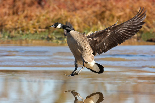 canada goose landing in marsh, November at Dutch Gap, Chester, VA