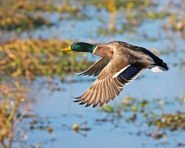 mallard in flight, November at Dutch Gap, Chester, VA