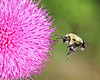 bumble bee on thistle flower in May, Dutch Gap, Chester, VA