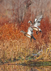 wigeon pair in flight over marsh, November at Dutch Gap, Chester, VA