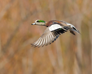 wigeon male over marsh, November in Chester, VA