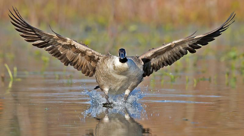 canada goose landing, November in Chester, VA