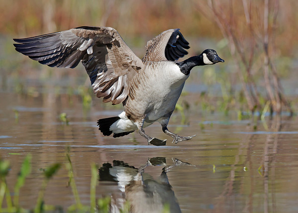 canada goose landing, November in Chester, VA