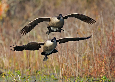 canada geese landing in marsh, November in Chester, VA
