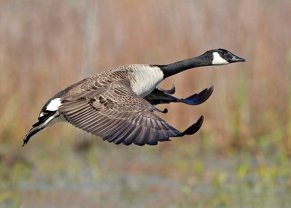 canada goose in flight over marsh, November in Dutch Gap, Chester, VA