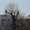 My first shot of a Bald Eagle in a tree across the river at Kaw Point, Ks