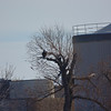 A Bald Eagle across the river  from Kaw Point, Ks