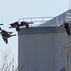 Geese fly near the Bald Eagle in the tree across the river. This is a very small portion of the previous full image.
