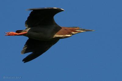 2015-0529-kent-eagle-squirrel-feed-flight-river