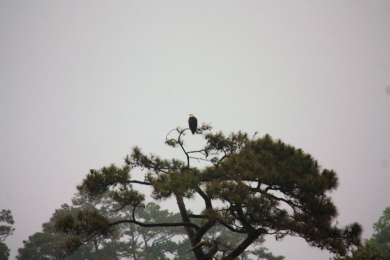Eagle sitting on his perch behind and to left of green at Oyster Bay Lake