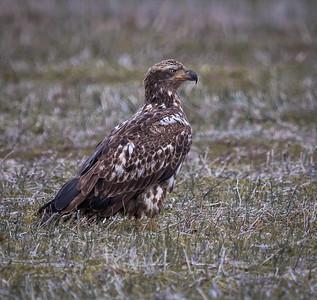 fledging_eagle_293_b