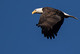 Eagle Looking Down