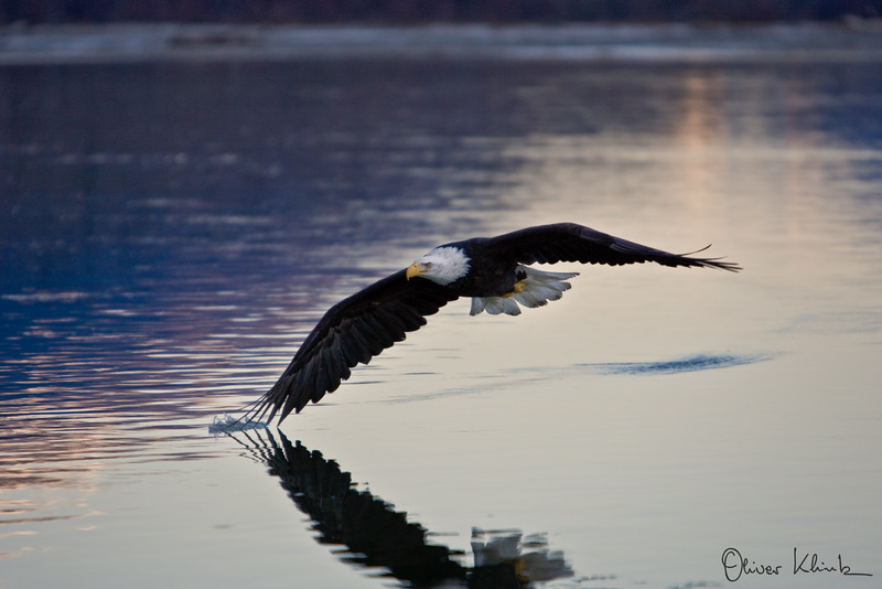 Eagle at Sunset 2