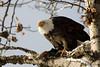 Bald eagle eating salmon (Haines, AK).