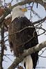 Perched bald eagle (Haines, AK)