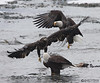 2 mature and one immature bald eagles (Haines, AK)