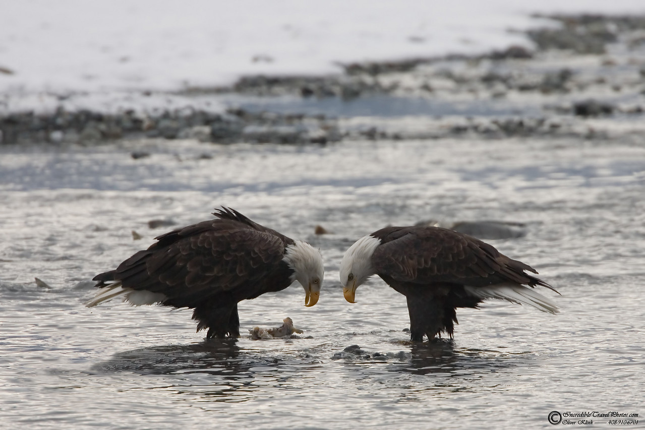 2 mature bald eagles (Haines, AK)