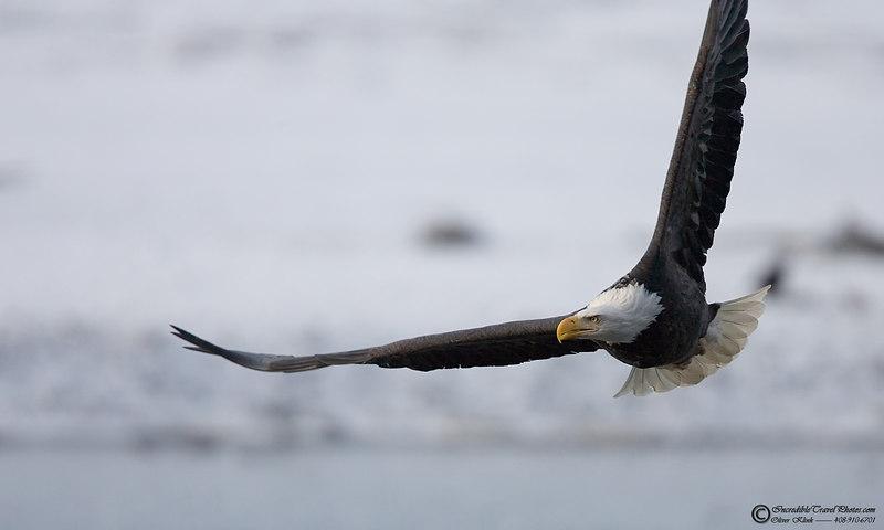 Bald Eagle (Haines, AK)