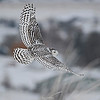 Snowy Owl from the Artic Near Polson, Montana